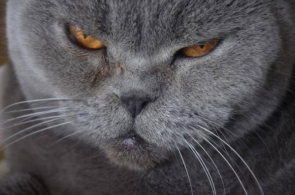 Кастрация и стерилизация шотландских котов и кошек: особенности и возраст