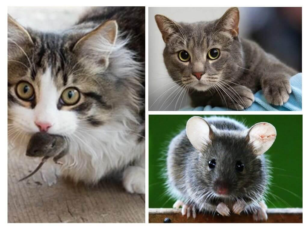 Может ли крыса съесть мышь? кто ест мышей?