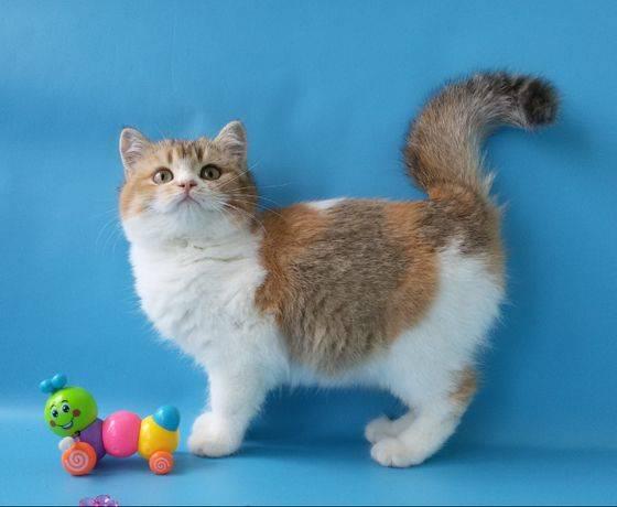 Кошки породы скоттиш фолд