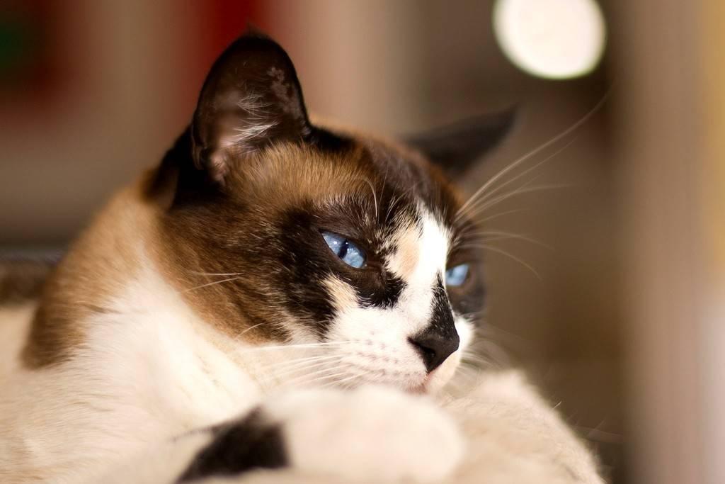Сноу-шу (фото): кошачья аристократия в ореховых тонах