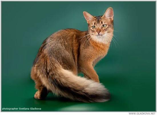 Сомалийская кошка: описание и характер породы, основы ухода, фото