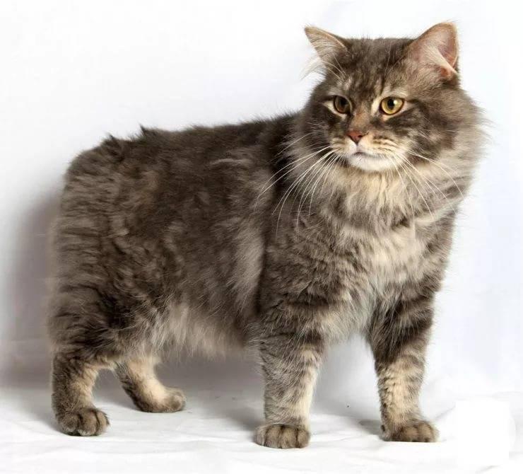 Порода кошек кимрик: фото и описание кимрийского кота, история происхождения, особенности содержания