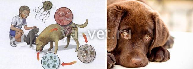 Лечение лямблиоза у кошек дозировка - муркин дом