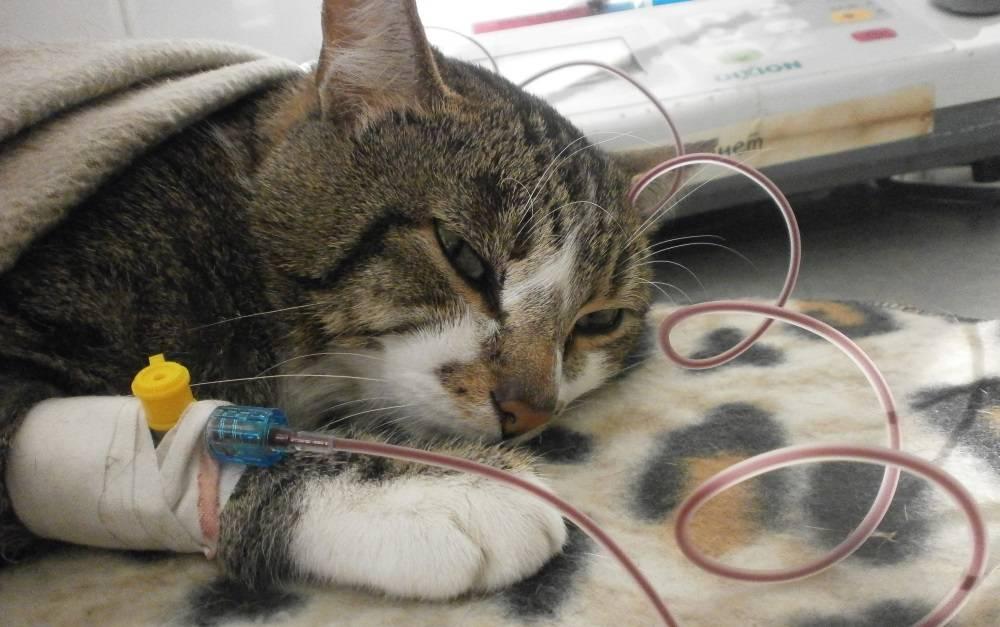 Гемотрансфузия собак и кошек – переливание крови животным