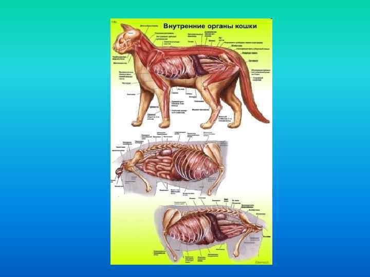 Насколько опасна и как лечится гипертрофическая кардиомиопатия у кошек