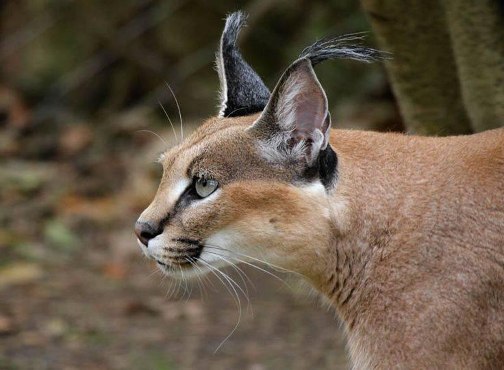 Пушистые породы кошек: топ 10 с фотографиями и названиями