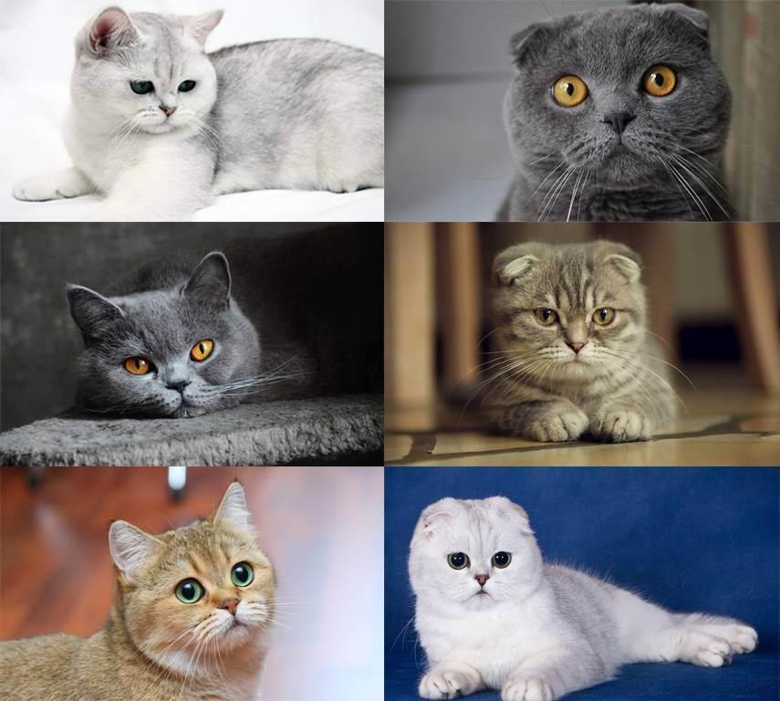 Отличие британских кошек от шотландских: чем отличаются?