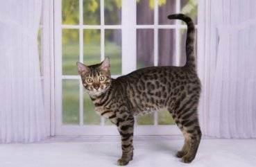 Саванна (порода кошек)