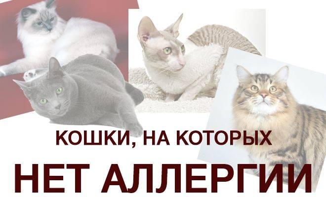 Гипоаллергенные кошки: представители каких пород не линяют, не пахнут и не вызывают аллергии?