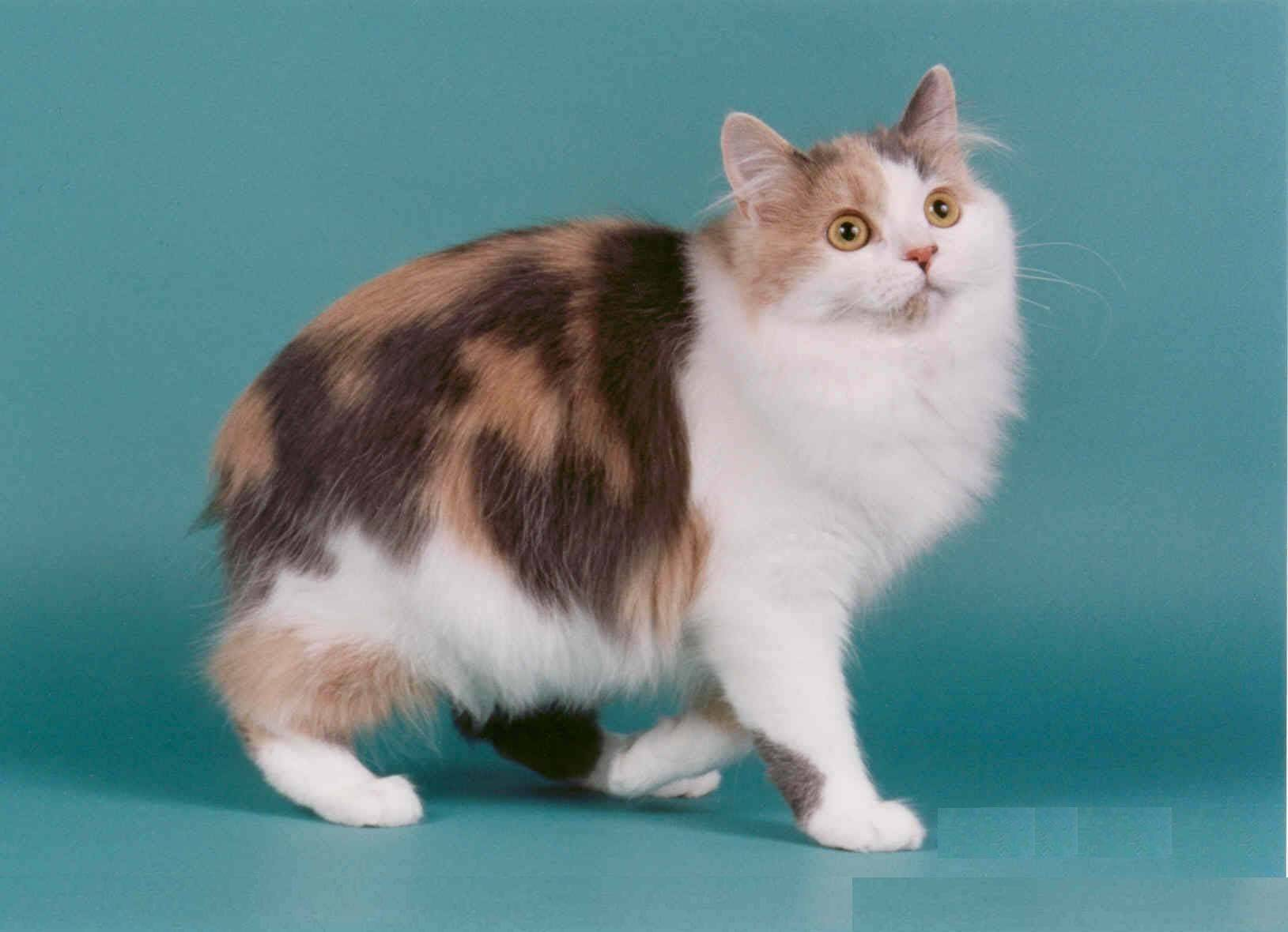 Кошка породы мэнкс - 115 фото, история, международный стандарт и его нормы