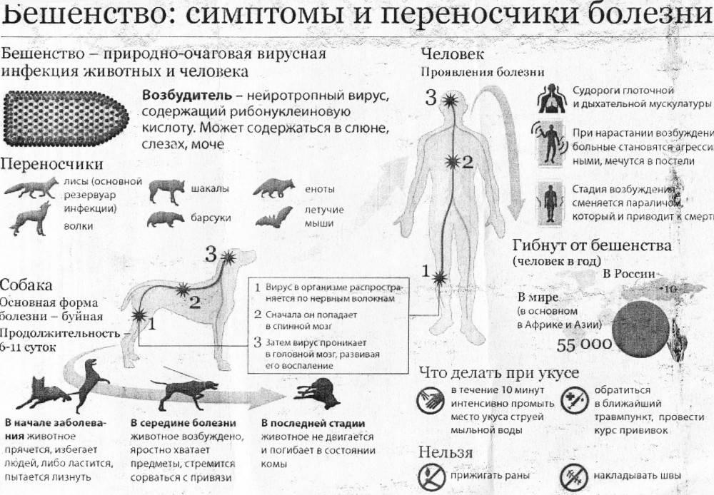 Как проявляется бешенство у кошек: пути инфицирования, инкубационный период, первые симптомы и признаки в различных формах заболевания