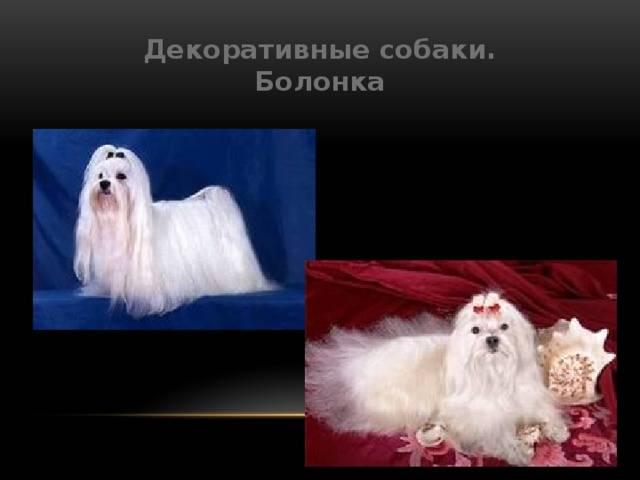 Болонка порода собак. описание, цена и уход за болонкой