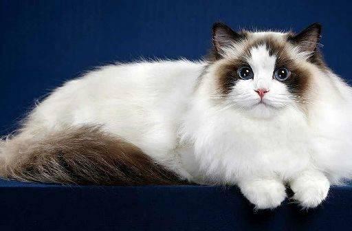 Рэгдолл кошка: фото, характер, внешний вид, здоровье, уход