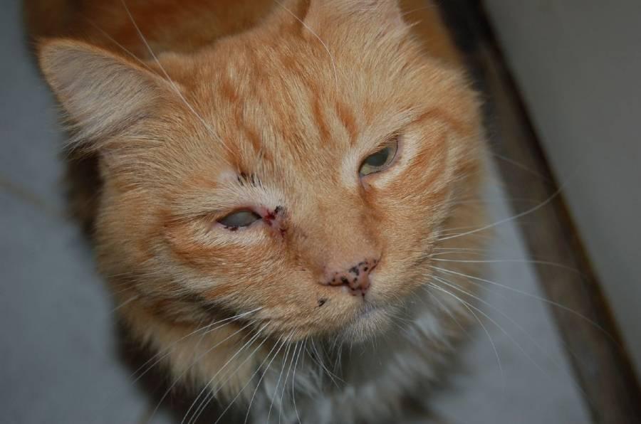 Лечение ринотрахеита у кошек в домашних условиях | портал о народной медицине
