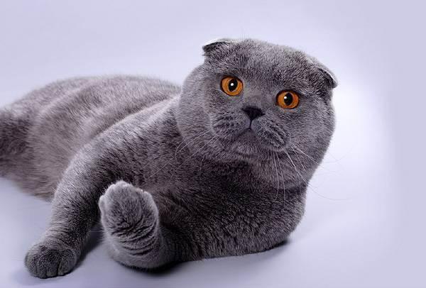 Сколько лет живет шотландская вислоухая кошка