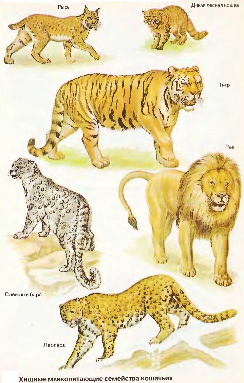 Породы диких кошек — особенности, виды и фото