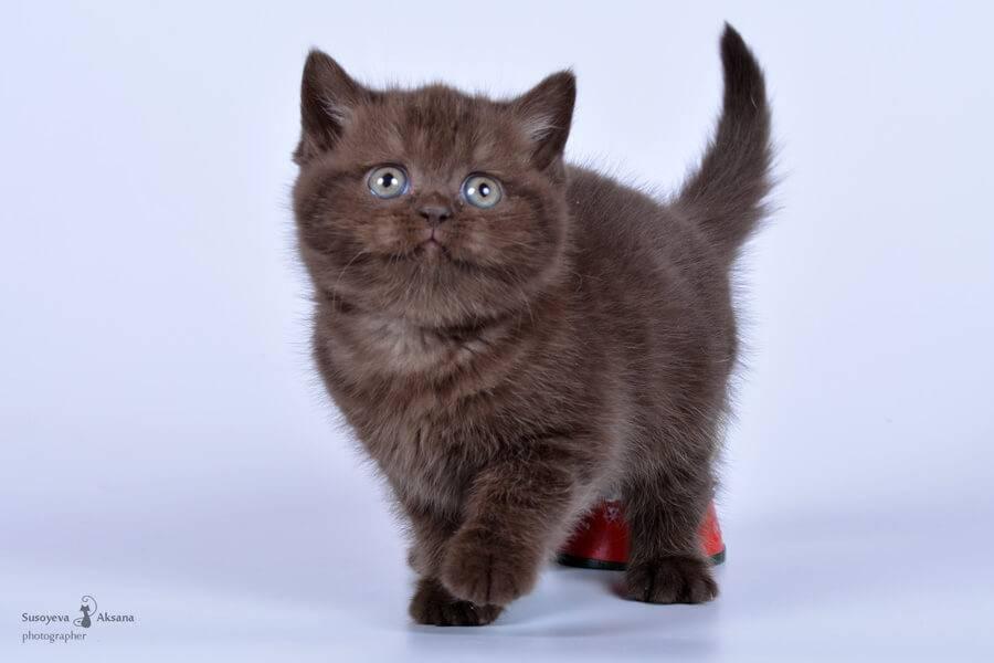 Британская кошка: характер, описание, окрасы и фото