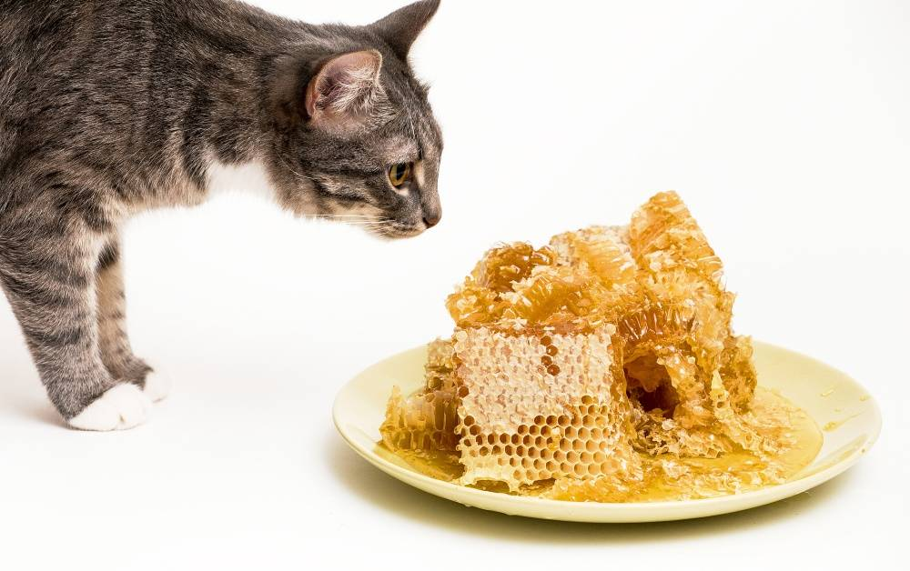 Можно ли котам сладкое? почему нельзя давать сладости кошкам, даже если она их любит?