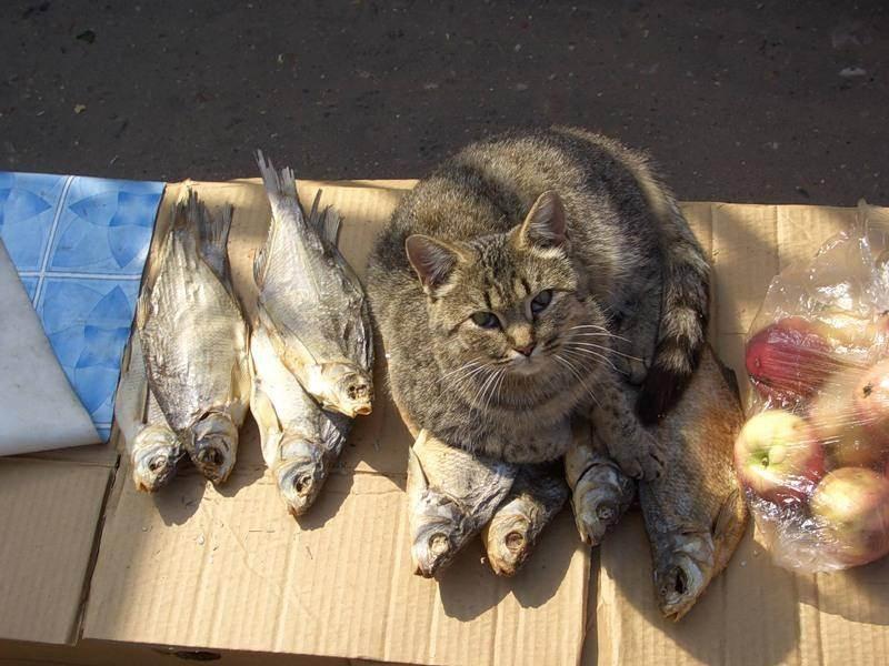 Почему кошкам нельзя рыбу – вред рыбных продуктов и кормление