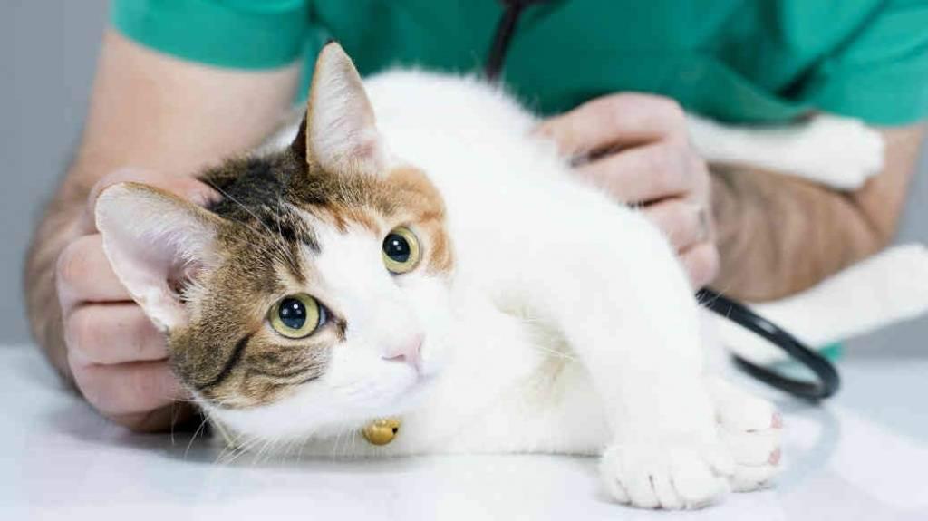 Как вывести у кошки глистов: лечение питомца в домашних условиях препаратами и народными средствами