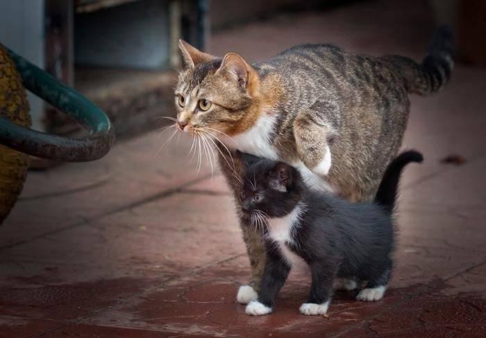 Кошка тягает потомство: причины и решение