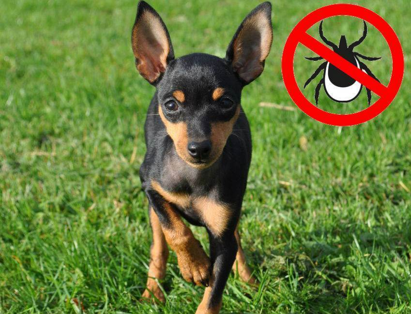 Оберегаем собак от клещей