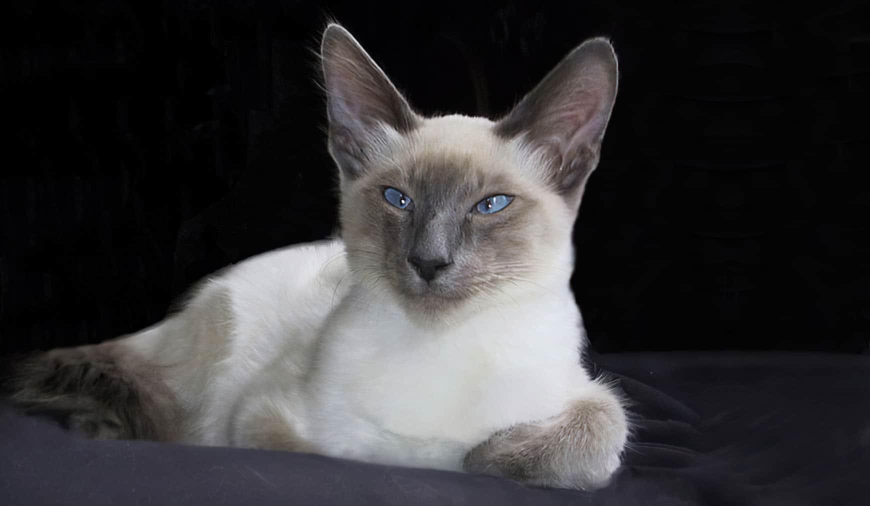 Балинезийская кошка: фото, описание, характер, содержание, отзывы