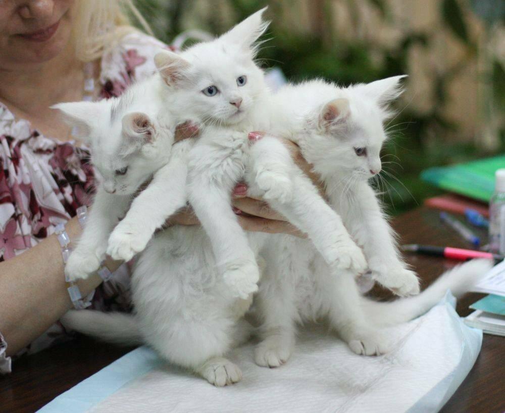 Как начать разводить кошек - каких кошек лучше разводить для продажи?