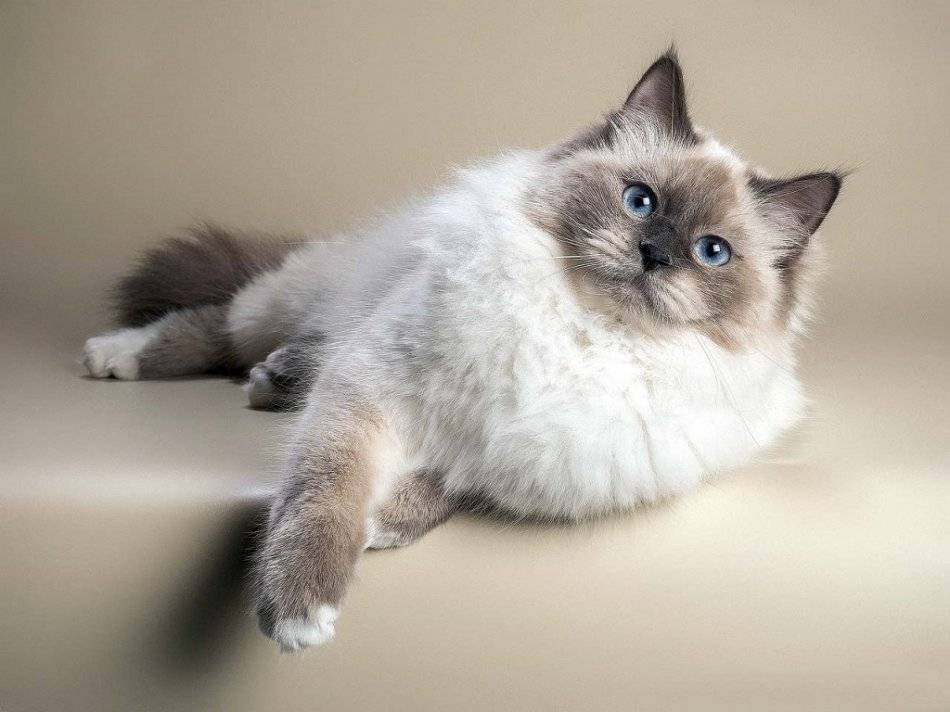 Породы кошек похожие на сиамских: фото и названия   сайт «мурло»