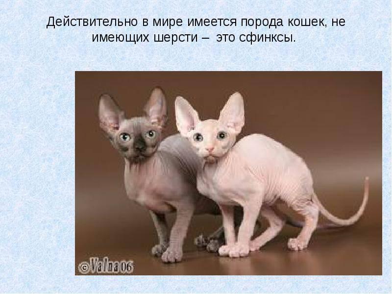 5 самых необычных пород кошек и интересные факты о них