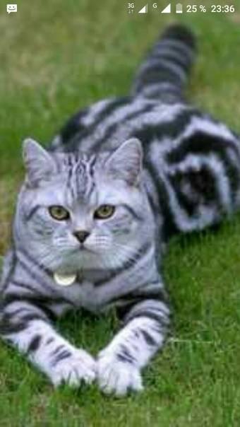 Порода рыжего кота из рекламы фрискис. философия «вискас» – почему именно британская короткошерстная стала лицом бренда? уход за британскими кошками