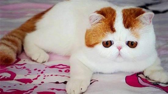 Плюшевые породы кошек: милая внешность и высокий интеллект в одном питомце