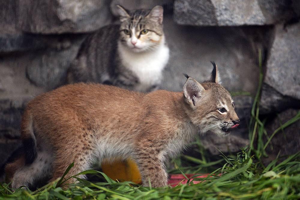 Самый маленький кот в мире: мелкие дикие и домашние кошки, фото и описание