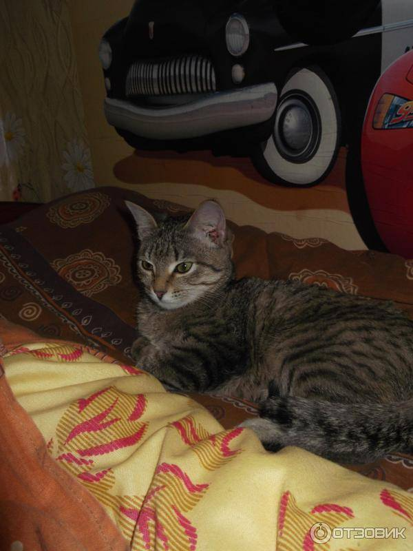 Порода кошек крысолов фото, кошка крысоловка