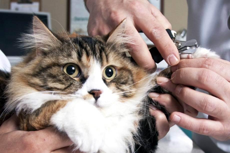 Как подрезать кошке когти. можно ли стричь когти кошкам? отвечает ветеринар. особенности проведения процедуры: пошаговый алгоритм действий