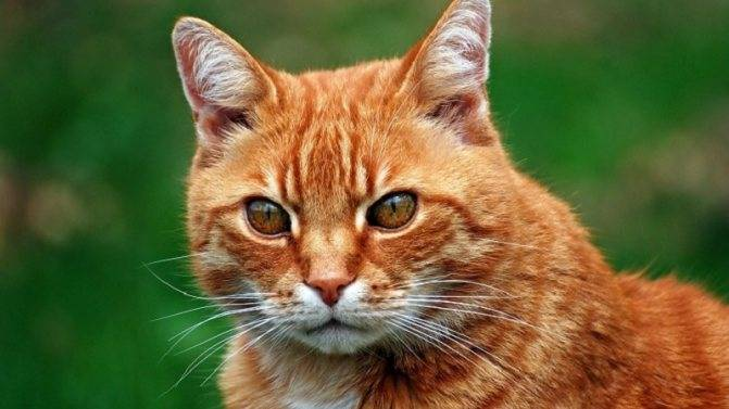 Породы рыжих кошек с фотографиями и названиями пород
