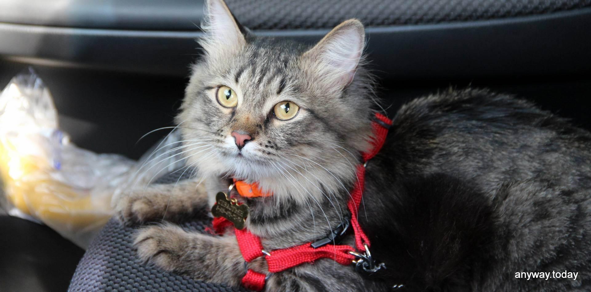 Транспортировка кошек. 6 советов которые помогут подготовиться