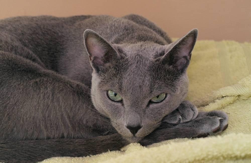 Порода сибирских кошек: сочетание доброго нрава и инстинкта диких предков