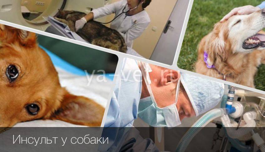 Симптомы и методы лечения инсульта у кошек