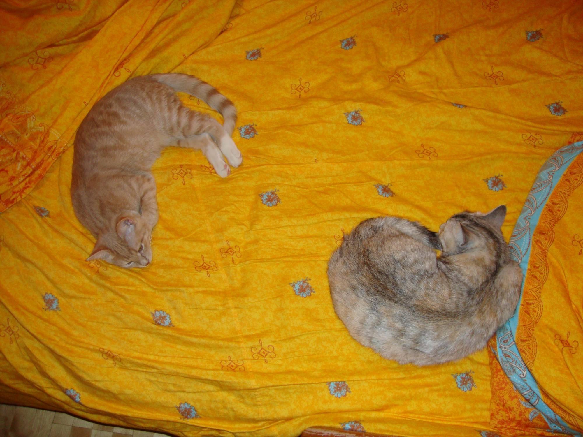 Как подружить двух кошек в одной квартире: полезные советы и маленькие хитрости