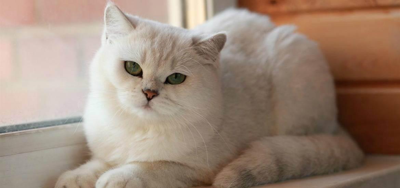 Британская длинношерстная кошка – англичанка в роскошном «манто»