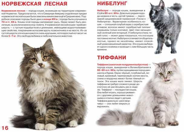 Британская длинношерстная кошка - 95 фото основных стандартов окраса и характеристика породы