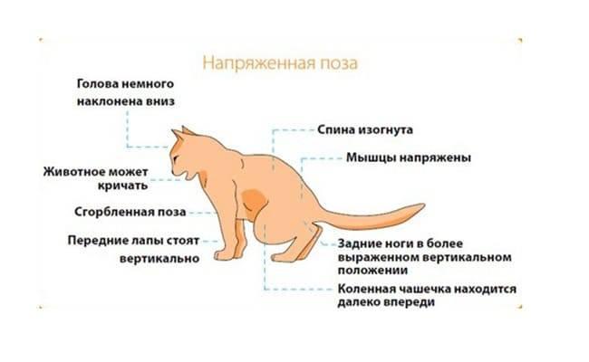 У кошки выпадают или ломаются усы: чем грозит симптом питомцу