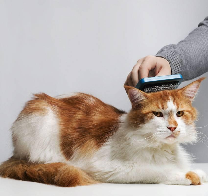 Перхоть у кошек: причины и лечение ⋆ лечение кошек в домашних условиях