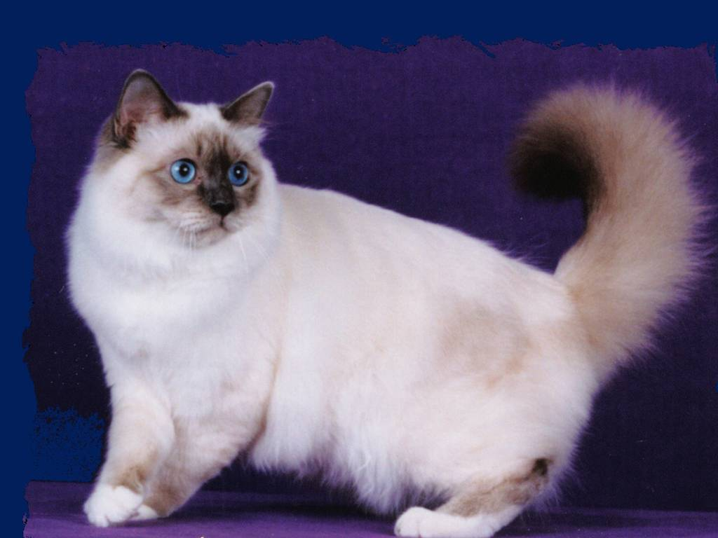 Бирманская кошка: цена, описание породы, фото