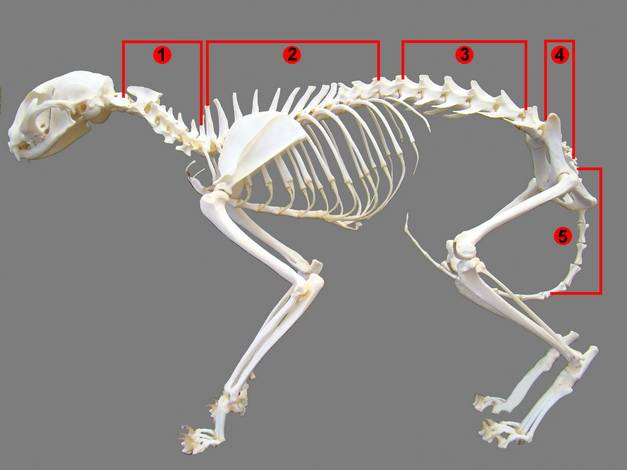 Перелом позвоночника у кошки: признаки, первая помощь, последствия