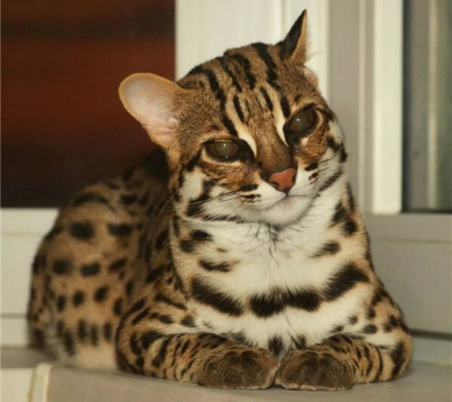 Кошка породы тойгер:описание породы и характера кошек- подробности ухода +видео и фото