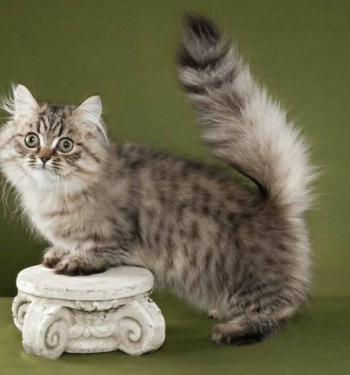Самые маленькие породы кошек: фото, названия с описанием