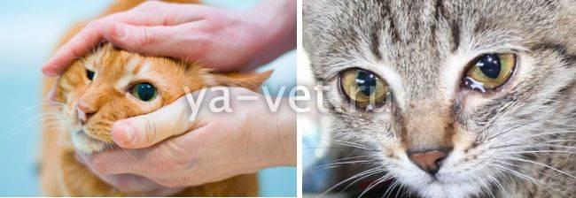 У кошки из глаз коричневые выделения - косметическая проблема или патология, что делать, чем лечить