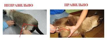 Делаем укол коту внутримышечно в домашних условиях: видео как правильно колоть